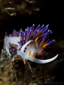Cratena Peregrina - Levanto - Itlay by Pietro Formis 
